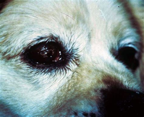 yorkie eye boogers kcs in dogs for dogs sake