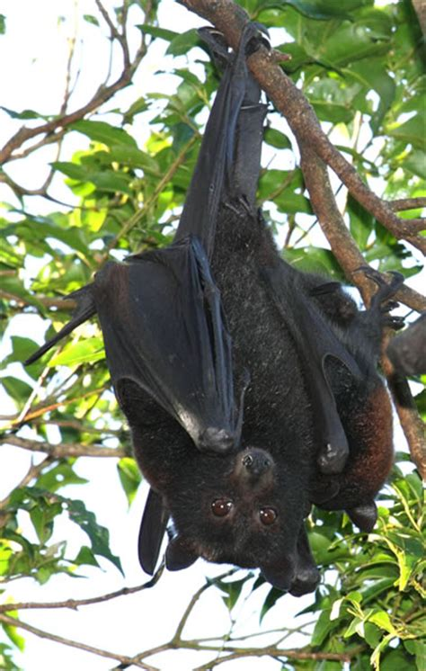 backyard flying fox living with flying foxes sydneybats