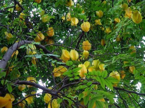 carambola fruit tree how to grow fruit growing starfruit carambola