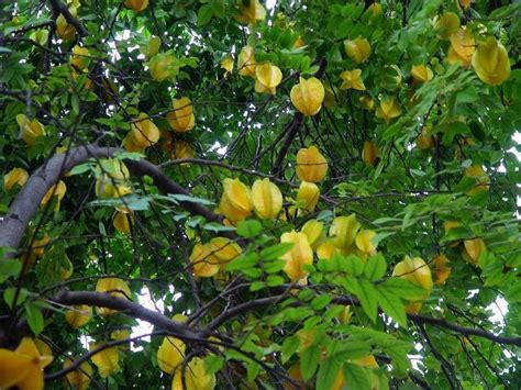 How to Grow Star Fruit   Growing Starfruit (Carambola)
