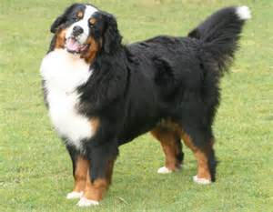 Berner sennenhund dog breeds mountain bernese dog pets