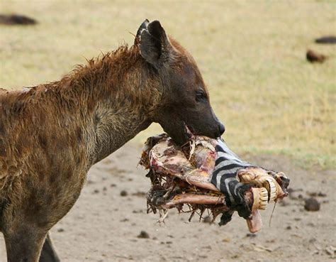 is a hyena a hyena facts is this a cowardly scavenger or an efficient