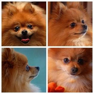 hair loss in pomeranian dogs pomeranian pregnancy breeds picture