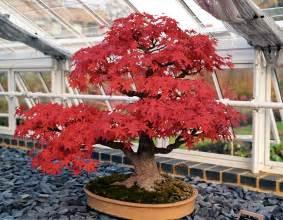 todo bonsai 盆栽 como hacer uno cuidados taringa