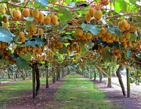 kiwi fruit trees kiwi tree farm with of riped kiwi fruits