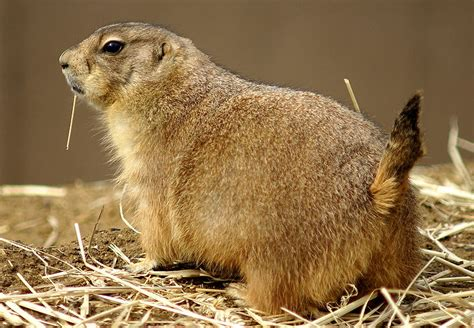 follow the piper prairie dogs