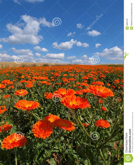 field of flowers pictures free field of flowers stock image image of orange botanical