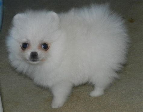 teacup pomeranian for sale in san antonio pomeranian puppies for sale for sale adoption from san antonio breeds picture