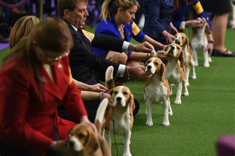Best In Show Puppy 15kg westminster show 2017 results best of breed winners and monday recap bleacher report