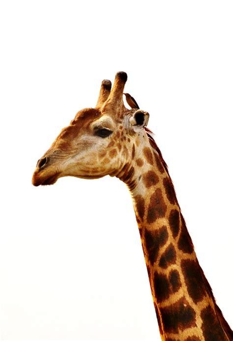 imagenes de jirafas a blanco y negro gratis foto giraffe nek van de giraf gratis afbeelding