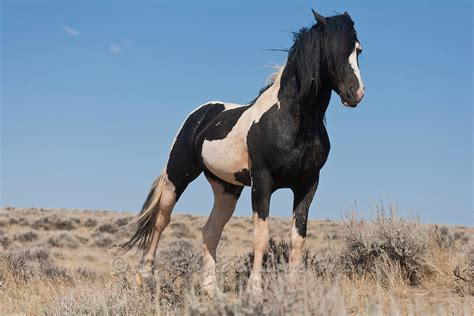 white mustang horse black and white paint band stallion in wyoming