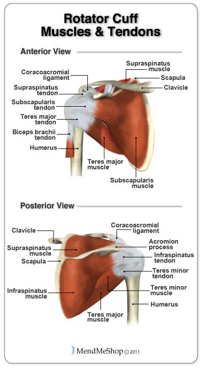 torn rotator cuff diagram image gallery supraspinatus anatomy