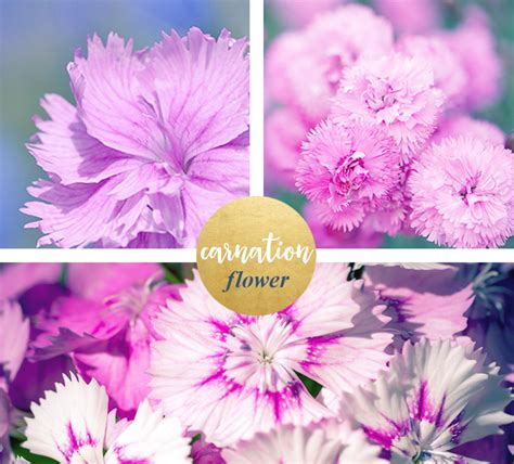 carnation color meanings carnation meaning and symbolism ftd
