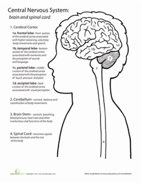 The Nervous System Worksheet by Inside Out Anatomy The Brain Worksheet Education