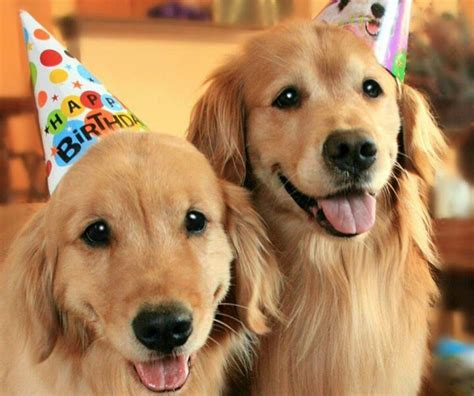 golden retriever happy birthday images golden hearts golden retriever rescue breeds picture