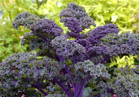 ornamental cabbage annual or perennial kale 6 pack redbor buy online at annie s annuals
