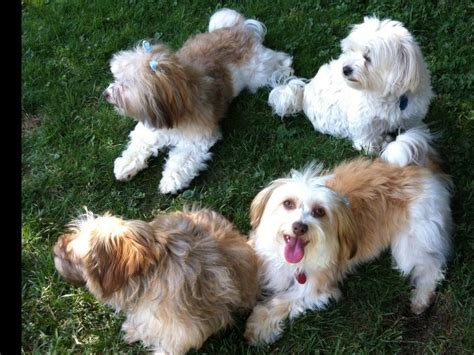 east coast havanese east coast havanese havanese puppies for sale