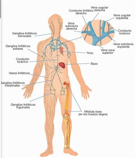 el sistema caged y sistema linf 225 tico e inmunol 243 gico reflexolog 237 a podal y mas