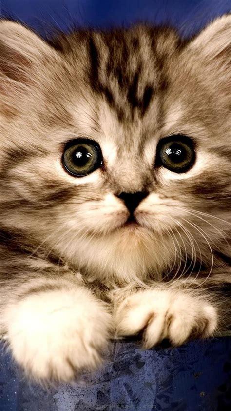 wallpaper cat android cat kitten wallpaper sc smartphone