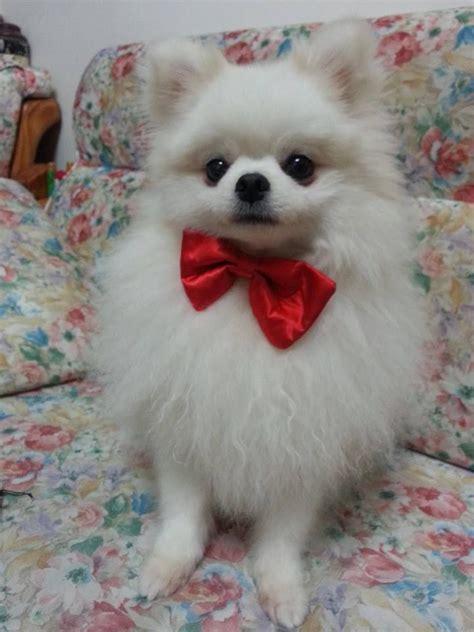 pomeranian with bow pomeranian bow pomeranian puppy umi bows so and