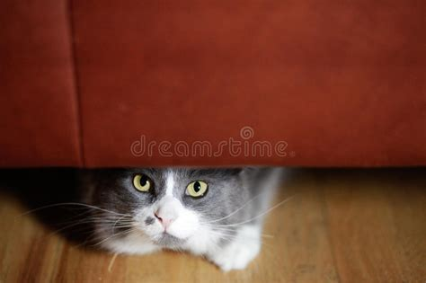 cat staring at couch cat hiding stock photo image of close wood staring