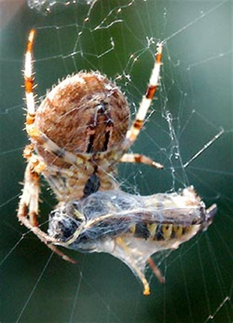 do spiders eat bed bugs free spider eating wasp insect picture