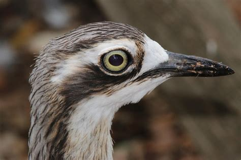 bush stone curlew wallpapers backgrounds