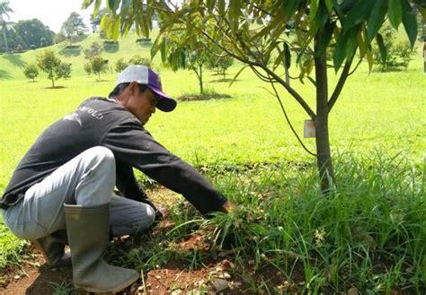 Pupuk Npk Mutiara Asli pemupukan durian bibit durian unggul
