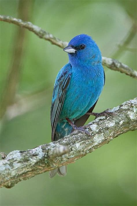 How To Attract Indigo Buntings To Your Backyard by 28 Best Indigo Bunting Images On