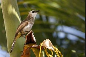 Cucak Ijo Ropel suara burung trucukan gacor ropel untuk masteran kicau