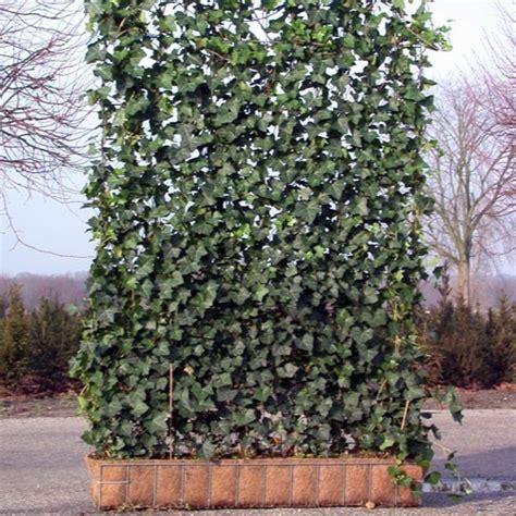 Planter Lierre Grimpant by Lierre Grimpant Sur Grillage Terrasse