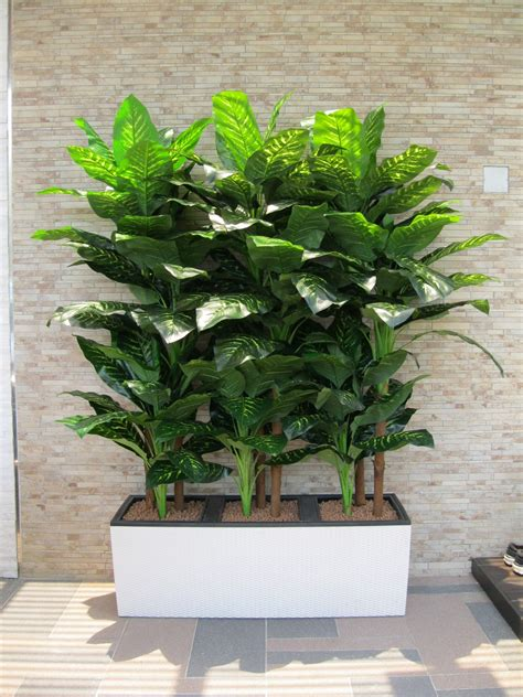 White Planters by Hoi Kee Flower Shop 6 5ft Large Dieffenbachia In White