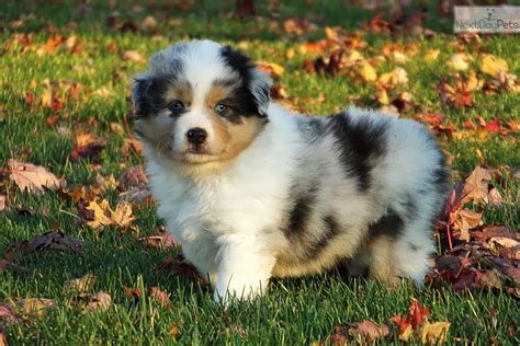 mini american shepherd puppies miniature american shepherd puppy for sale near south bend michiana indiana