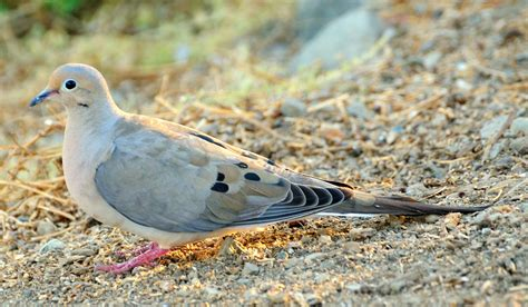 mourning dove project noah