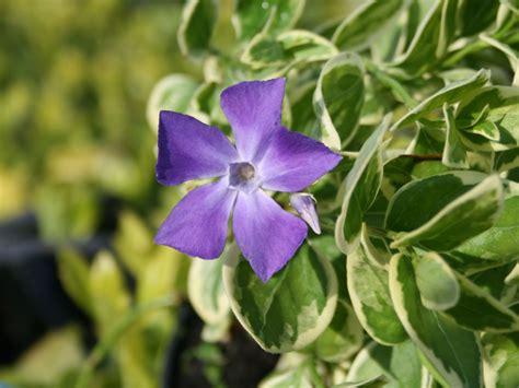 Kletterpflanzen Bl Hend Winterhart 1287 by Clematis Winterhart Immergr 252 N Clematis Efeu Und