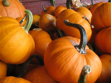 pictures of pumpkins file pumpkins 1 jpg wikimedia commons