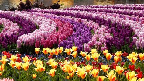 imagenes para fondo de pantalla de tulipanes parque tulipanes jacintos fondos de pantalla hd fondos