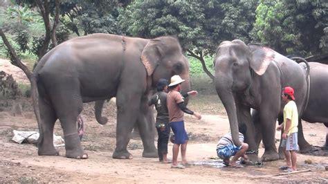 Elephant Matting by Elephant Mating Iii
