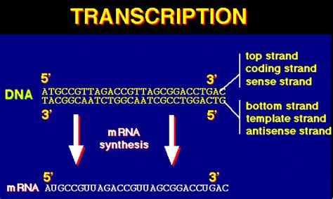 what is template strand protein synthesis