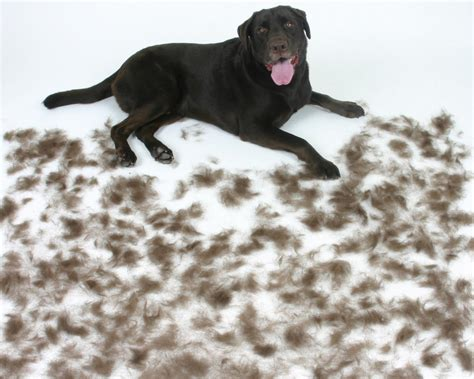 How To Help Shedding Dogs by Shedding Tips For A Cleaner House Dogs Information