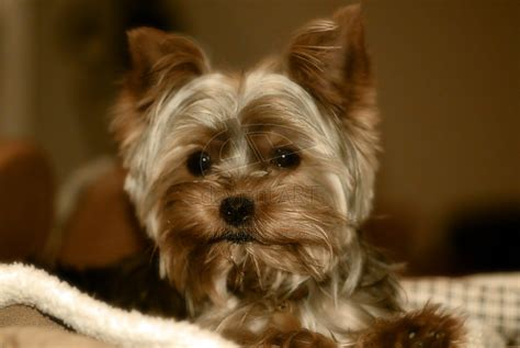 yorkie terrier for free free yorkie wallpaper