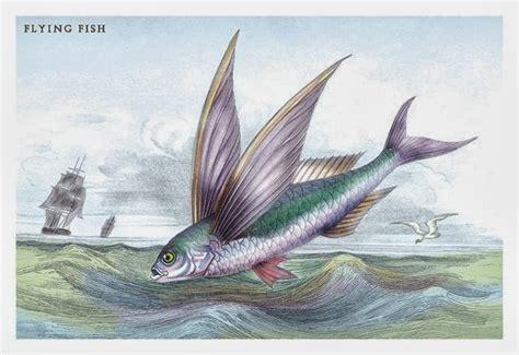 pesci volanti pesci volanti avvistati nella laguna di venezia