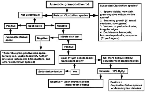 gram positive bacilli flowchart figure 2 flowchart for identification of anaerobic gram