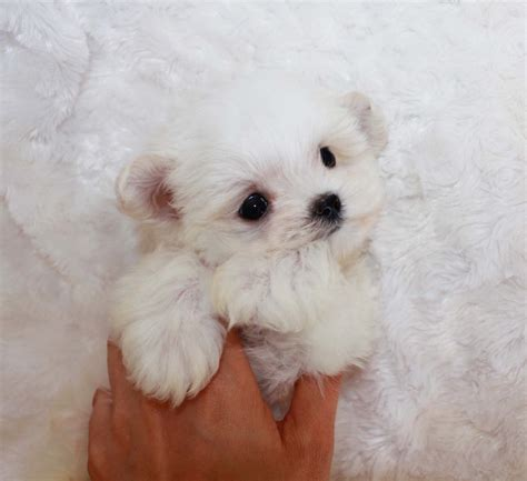 micro for sale micro teacup maltipoo for sale tiny iheartteacups