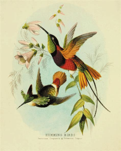 hummingbirds bird art print antique prints nature wall art