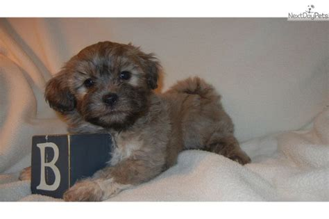 puppies for sale in nashville best 25 shichon puppies for sale ideas on puppy yorkie shih tzu mix