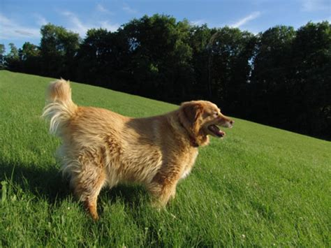 what were golden retrievers bred for breed articles