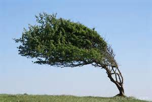 tree images windswept tree pictures free use image 15 88 19 by