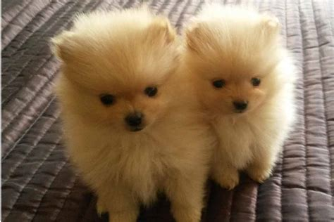 pomeranian sale pomeranian puppies for sale bazar