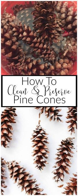 how to clean and preserve pine cones nature pine and parks